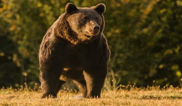 Arthur, cel mai mare urs din România, a fost omorât de un prinţ străin într-o pădure din Covasna